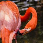Free stock photo Horizontal image of a flamingo in a pond