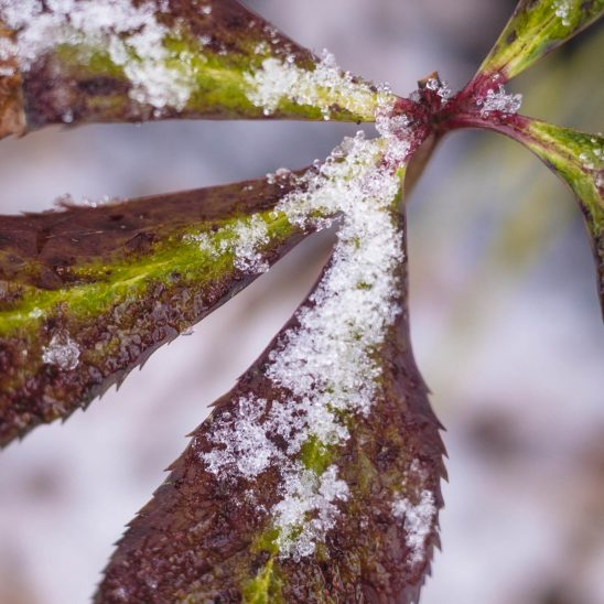 Free stock photo Close-up of snow on leaves