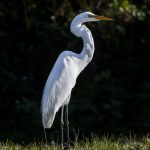 Free stock photo Great White Heron