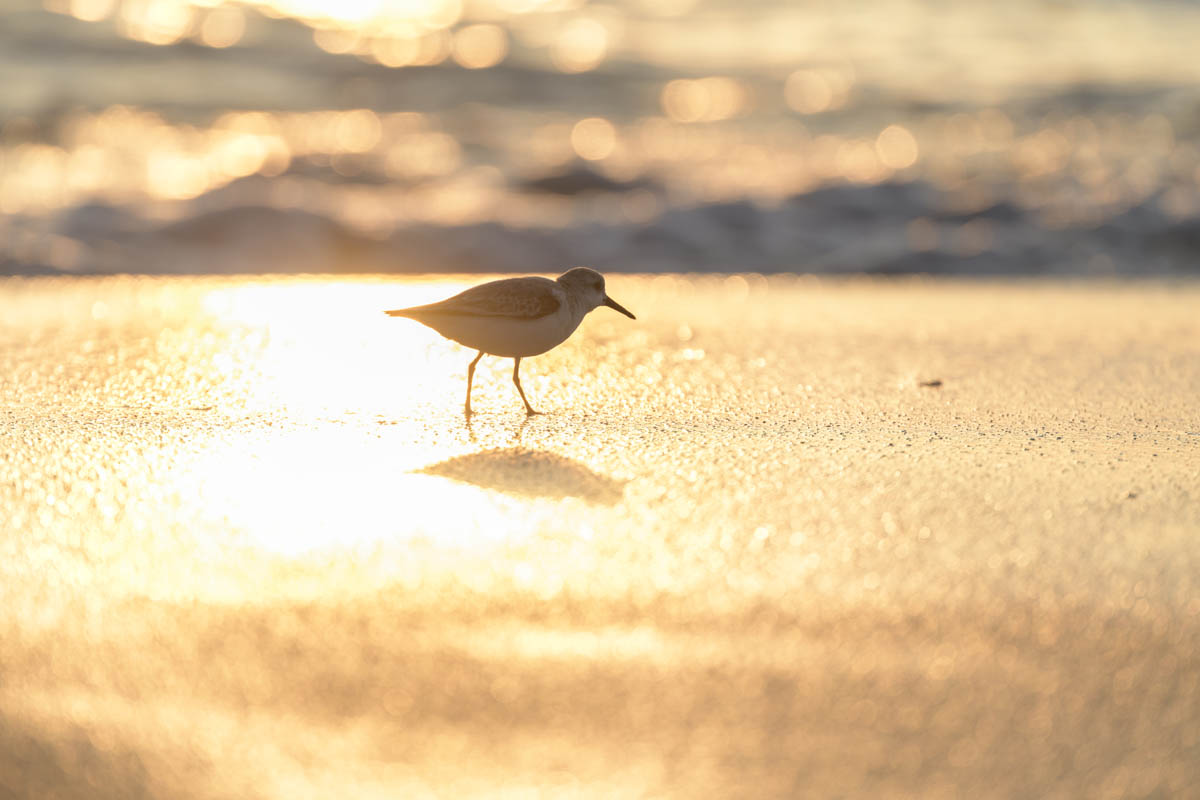 Free stock photo Sandpiper walking on sand at beach during sunset