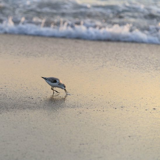 Free stock photo Sandpiper foraging on sand at beach during sunset