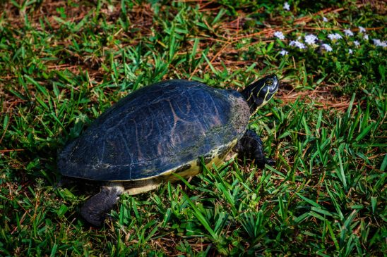 Free stock photo High angle view of tortoise on grassy field