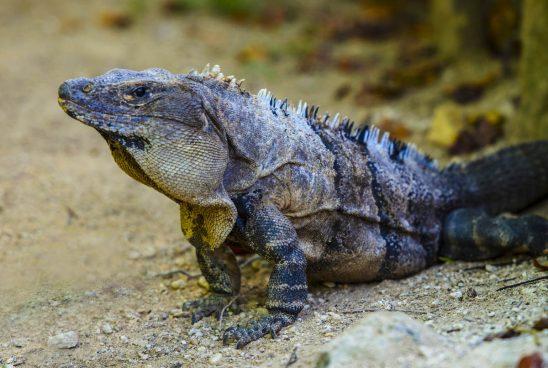 Free stock photo Close-up of alert iguana on ground