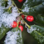 Free stock photo Snow on holly branch