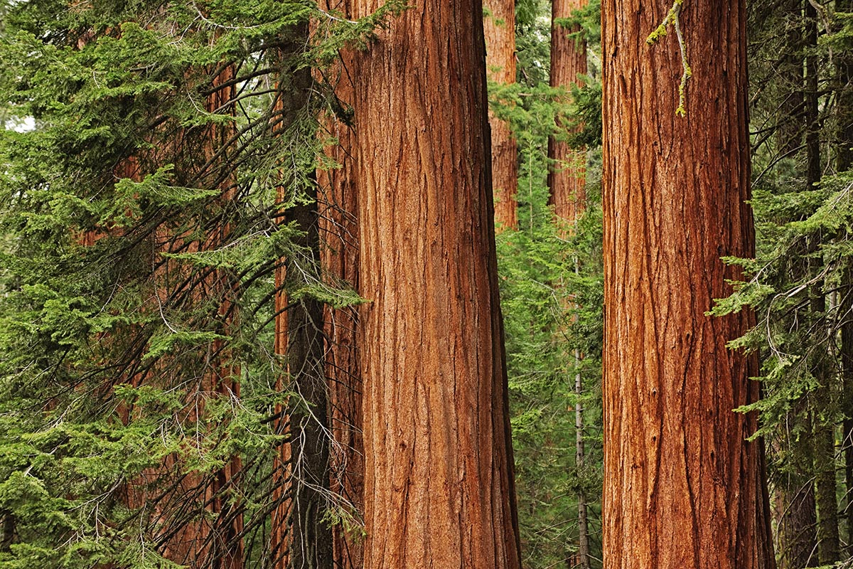 Free stock photo Giant redwood trees in Sequoia National Park, CA