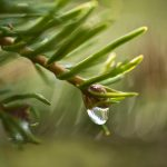 Free stock photo A dewdrop is falling from a pine branch.