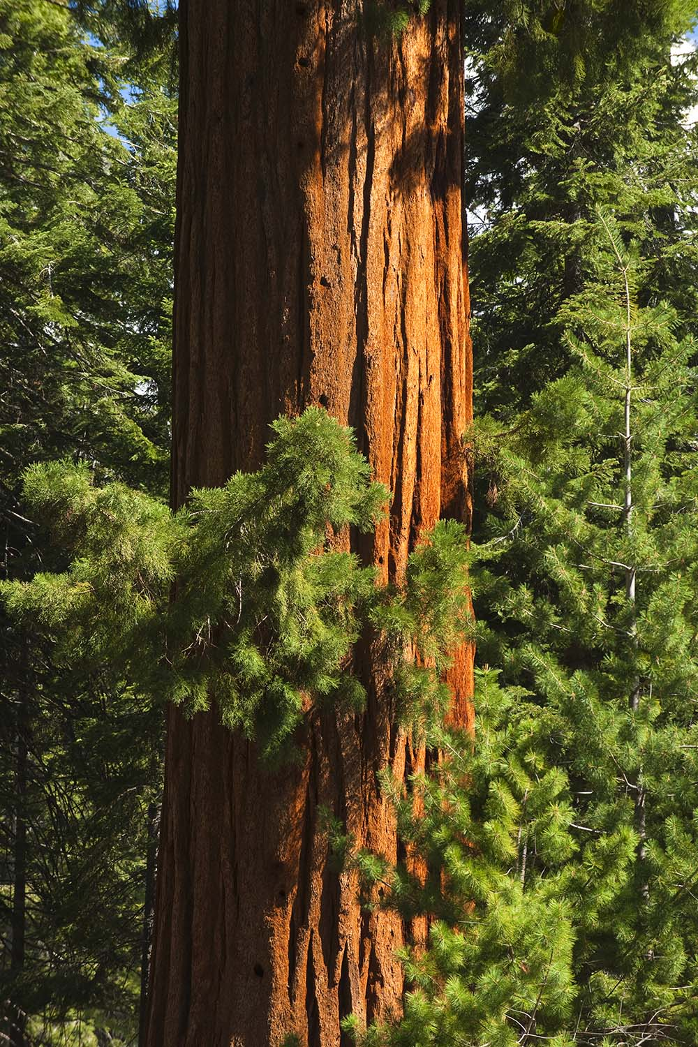 Free stock photo Giant redwood tree in Sequoia National Park, CA