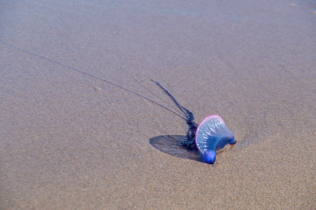 Free stock photo Portuguese man o' war on an ocean beach