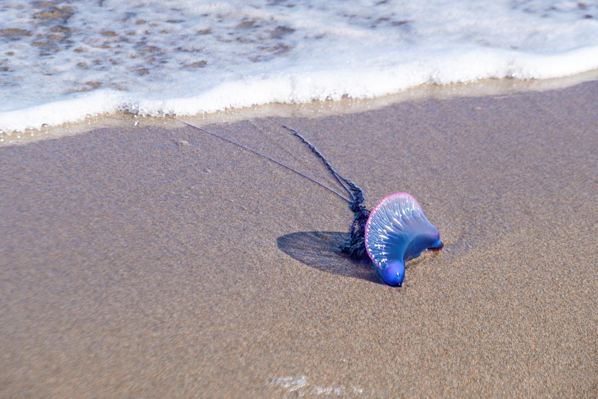 Free stock photo Portuguese man o' war washed up onto a beach by the ocean surf