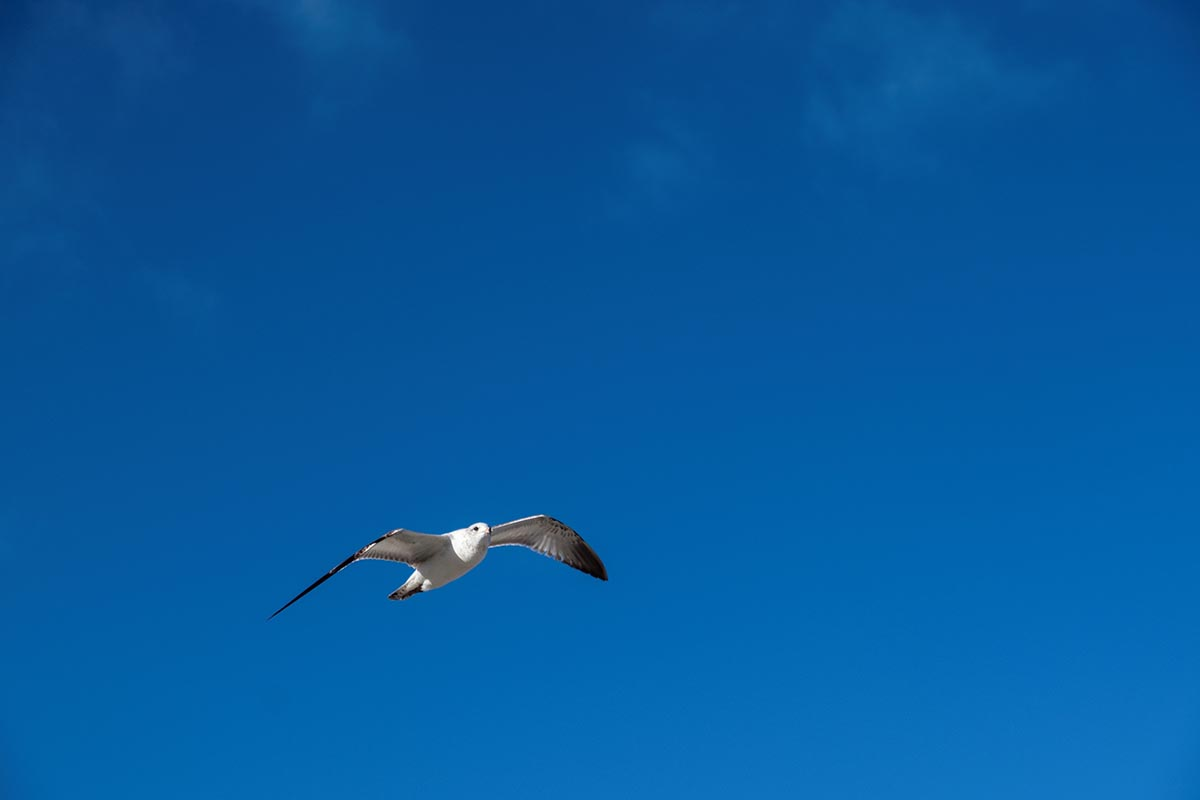 Free stock photo Seagull flying against a blue sky