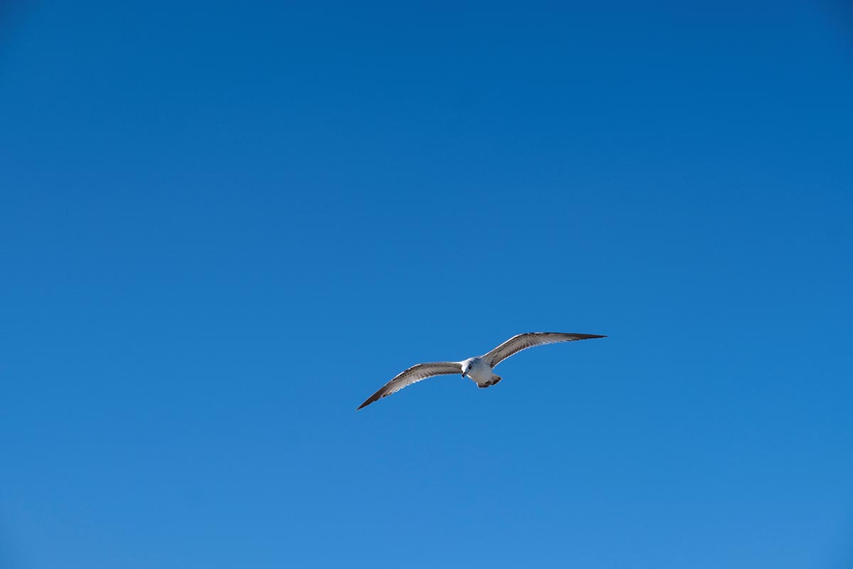 Free stock photo Seagull flying against a clear blue sky