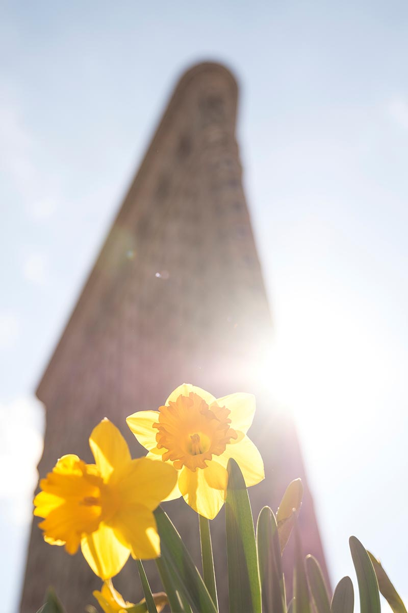 Free stock photo The Flatiron Building and daffodils in early spring