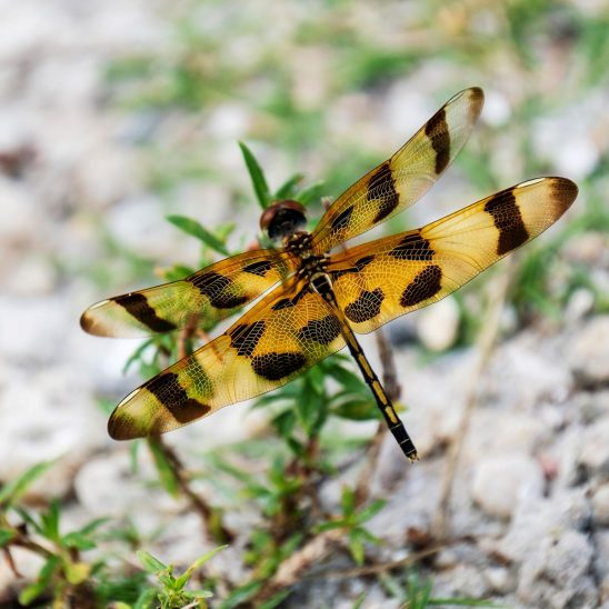 Free stock photo Close up of a dragonfly with outspread wings