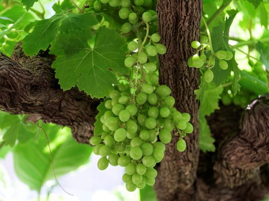 Free stock photo Green grapes hanging on a vine