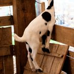 Free stock photo Standing goat looking out the window of its pen
