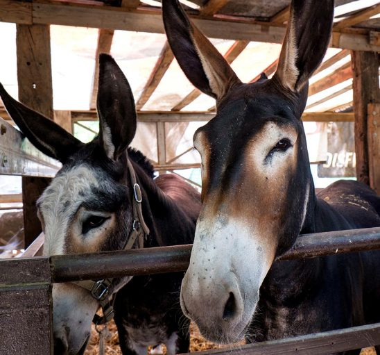 Free stock photo Two donkeys in a pen