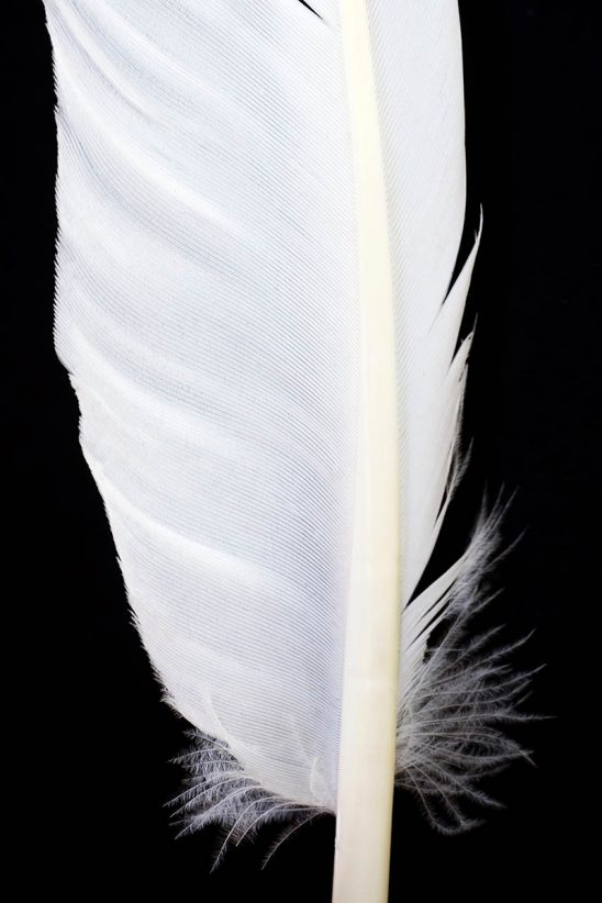 Free stock photo Close up of white feather against a black background