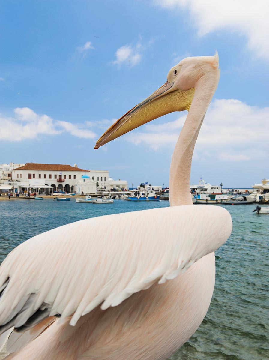 Free stock photo Large pelican on the island of Mykonos