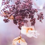 Free stock photo Lavendar colored flowers on an autumn tree branch