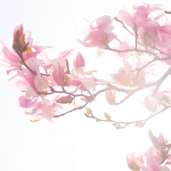 Free stock photo Pink spring blossoms on a tree branch