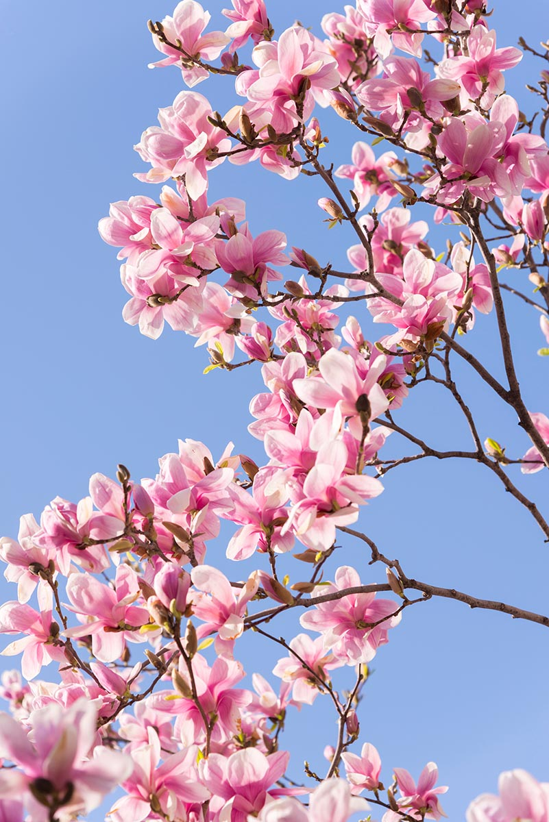 Free stock photo Pink blossoms on a tree against a blue sky