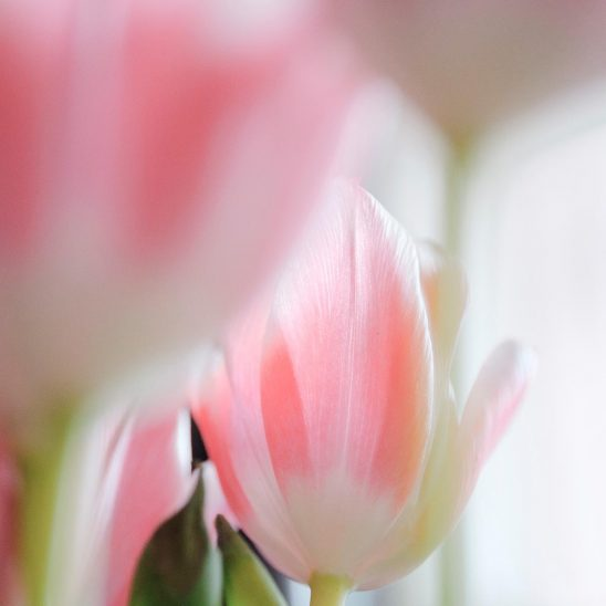 Free stock photo Close up selective focus of pink tulips