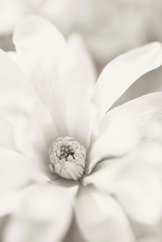 Free stock photo Soft close up of sepia colored flower