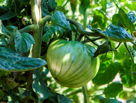 Free stock photo Close up of a green tomato on the vine