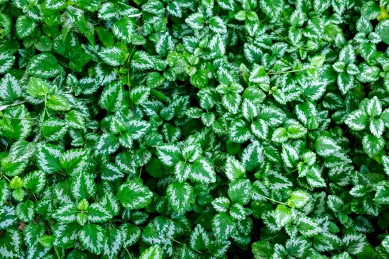Free stock photo Full frame image of field of variegated mint ivy