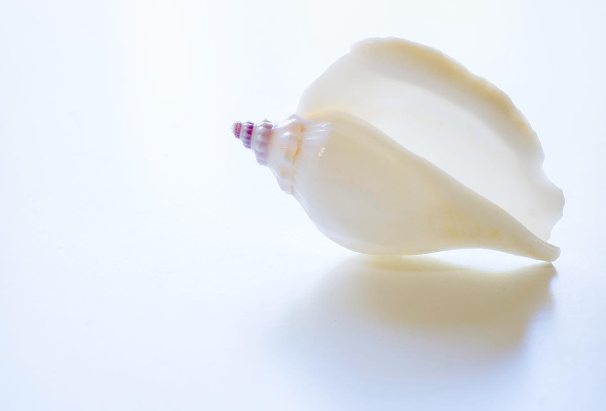 Free stock photo White sea shell on a white background