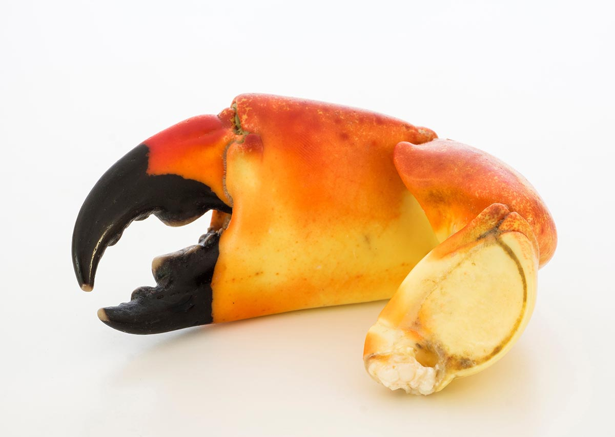 Free stock photo Stone crab claw on a white background