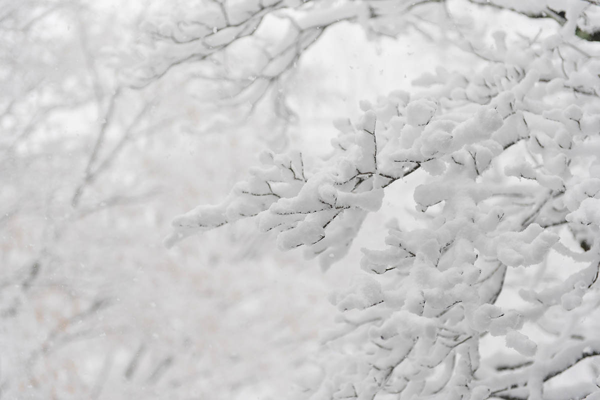 Free stock photo Snow covered branches and a snow covered background