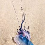 Free stock photo Man of War jellyfish washed up on the sandy beach