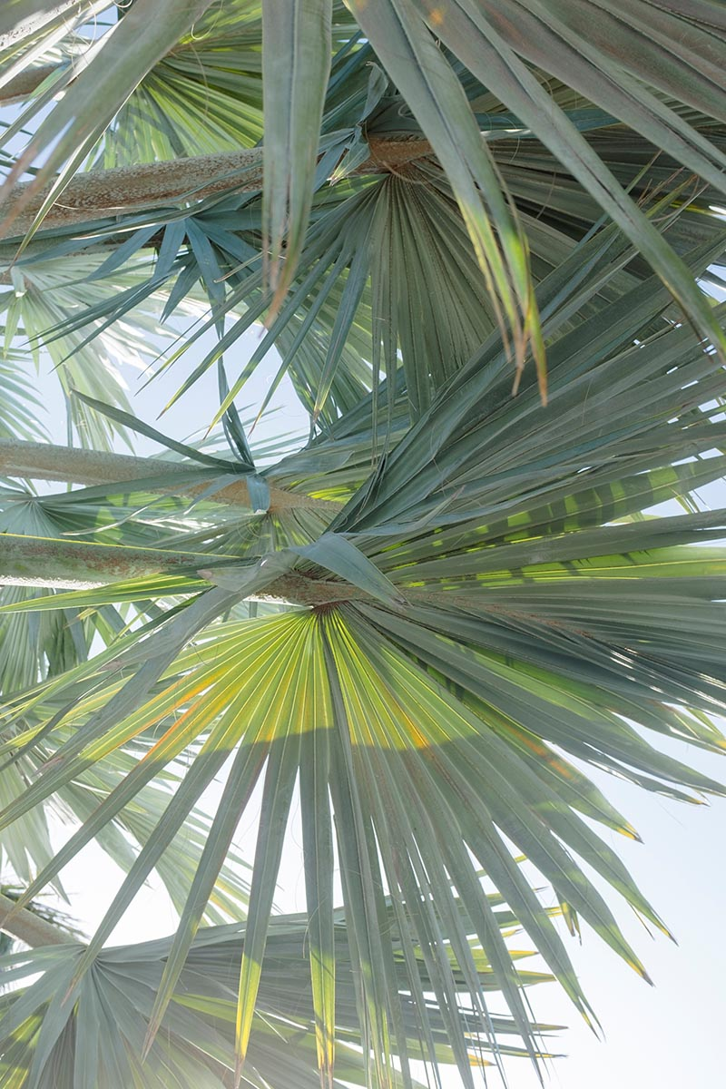Free stock photo Looking up at palm leaves