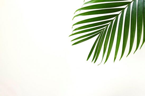 Free stock photo Single palm leaf against a white background