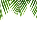 Free stock photo Palm leaves against a white background with copy space
