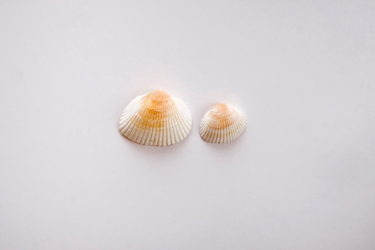 Free stock photo A large and small seashell in the center of a white space