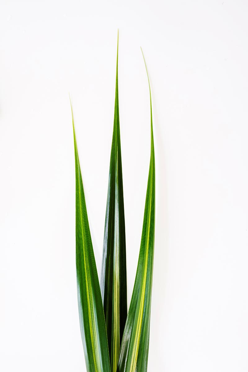 Free stock photo Three tropical palm leaves against a white background