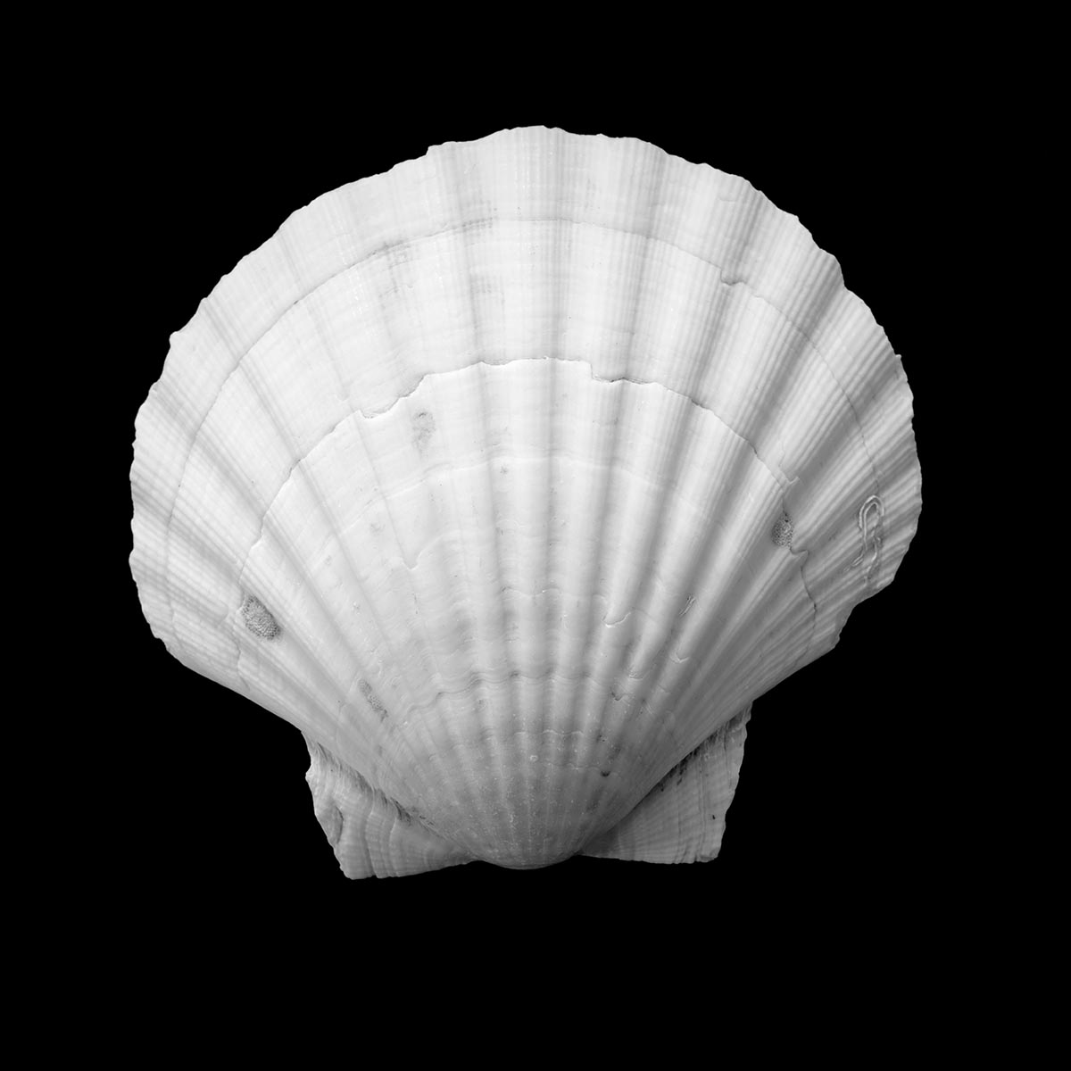 Free stock photo White scallop shell against a black background