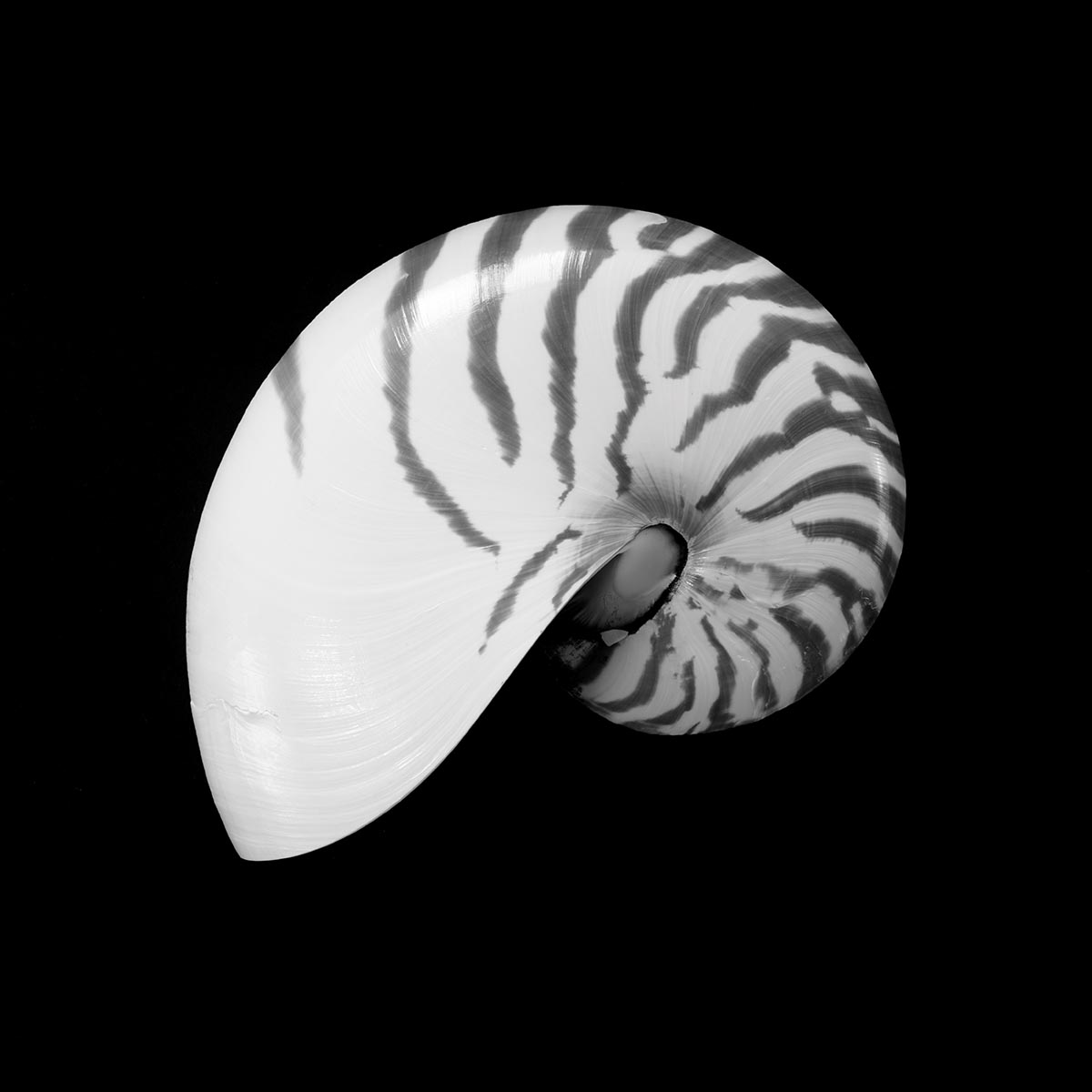 Free stock photo Patterned tiger nautilus shell against a black background