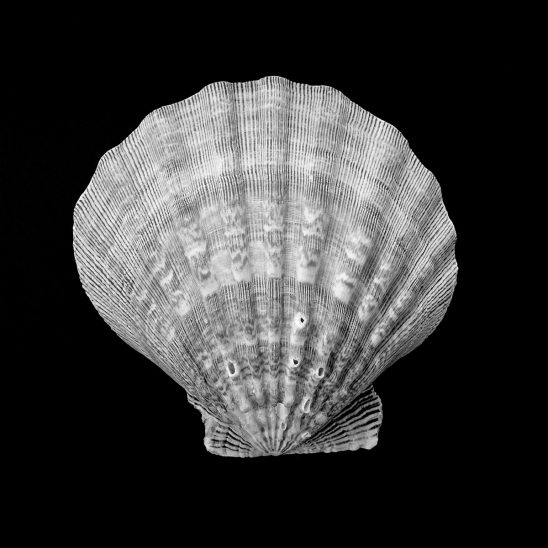 Free stock photo Striped scallop shell against a black background