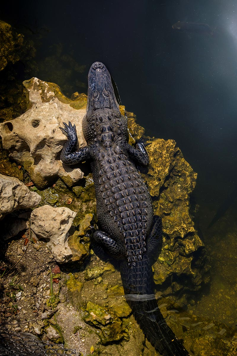 Free stock photo Alligator resting on a rock near the water