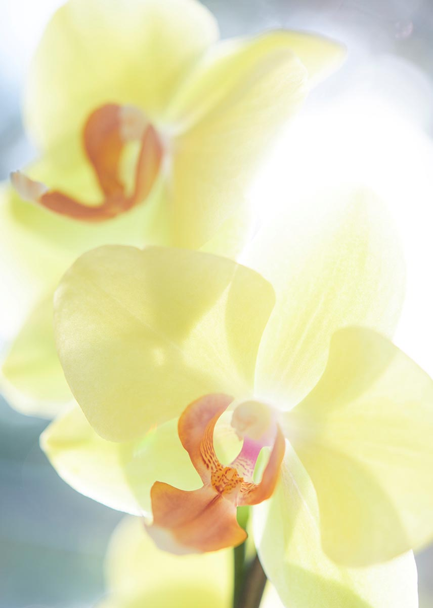 Free stock photo Close up of two pale yellow orchids