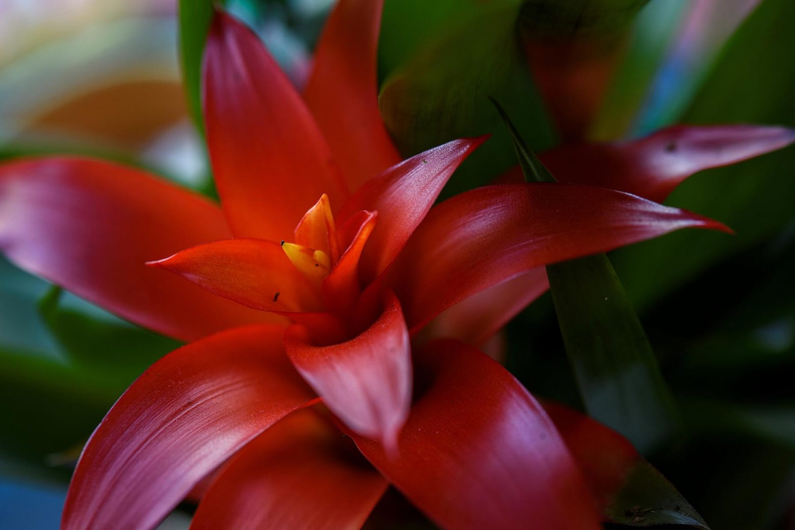 Free stock photo Close up of a red Bromeliad flower