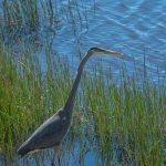Free stock photo Blue heron hiding in grass by a pond