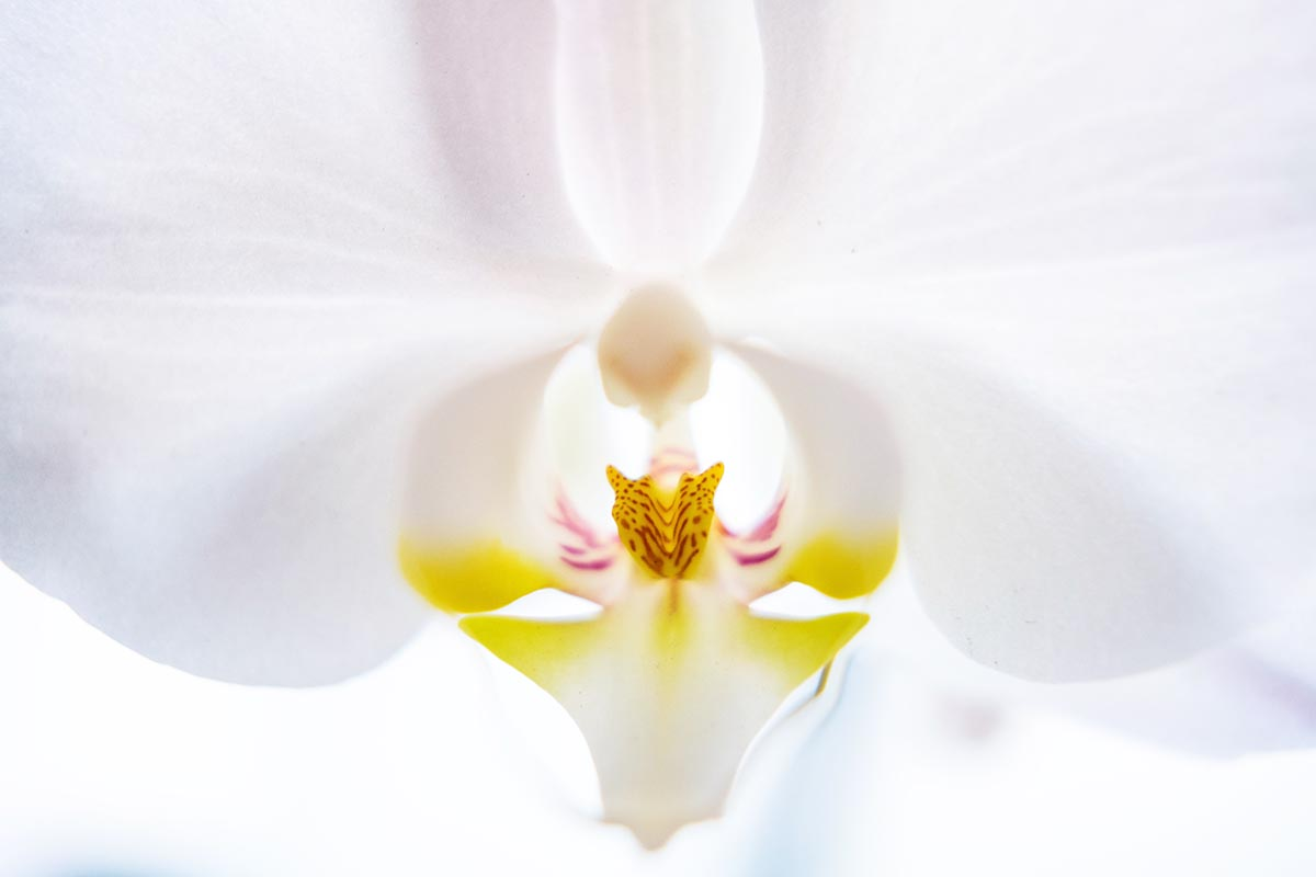 Free stock photo Close up of a white orchid