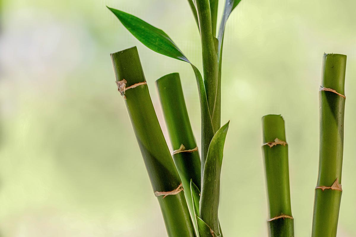 Free stock photo Bamboo stalks against a soft green background