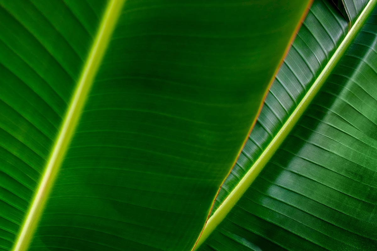 Free stock photo Full frame close up of two banana leaves