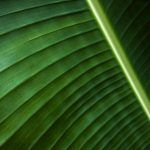 Free stock photo Close up of a banana leaf