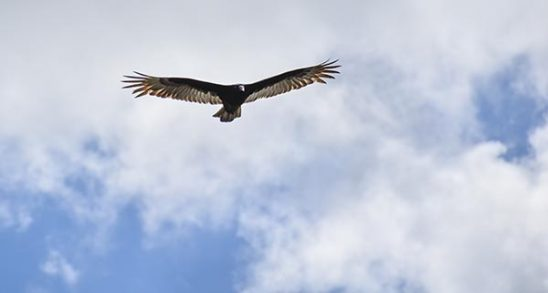 Free stock photo Vulture flying against a sky with clouds